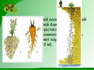 корень верблюжьей колючки, растущей в пустынях Средней Азии, уходит на глуби