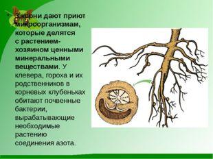 3.корни дают приют микроорганизмам, которые делятся срастением-хозяином ценн