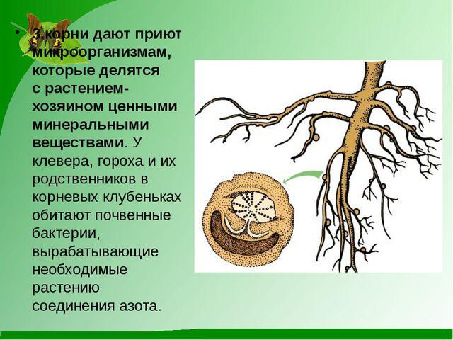 3.корни дают приют микроорганизмам, которые делятся срастением-хозяином ценн...