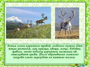 Летом олени кормятся травой, особенно охотно едят такие растения, как пушица,