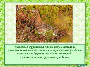 Питается куропатка почти исключительно растительной пищей - почками, сережкам
