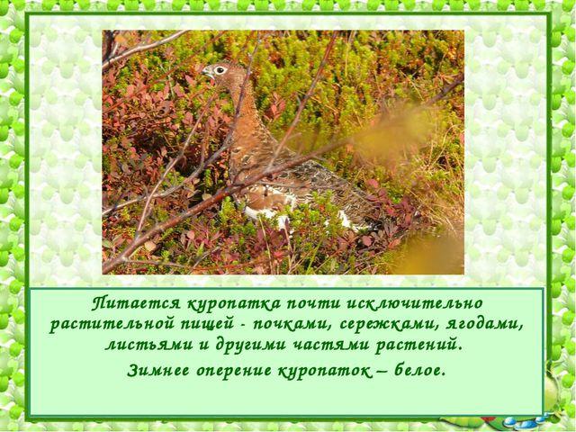 Питается куропатка почти исключительно растительной пищей - почками, сережкам...