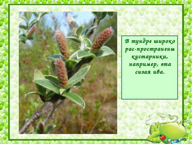 В тундре широко рас-пространены кустарники, например, эта сизая ива.