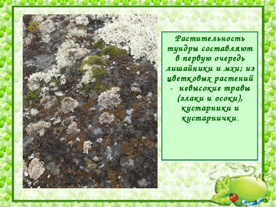 Растительность тундры составляют в первую очередь лишайники и мхи; из цветков...