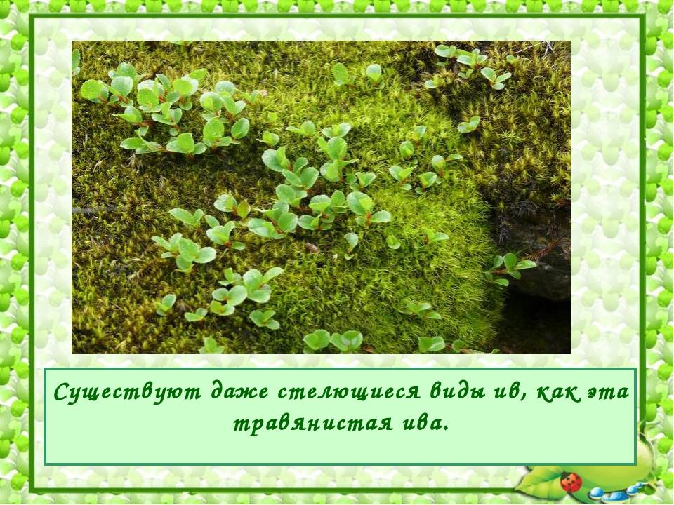 Существуют даже стелющиеся виды ив, как эта травянистая ива.