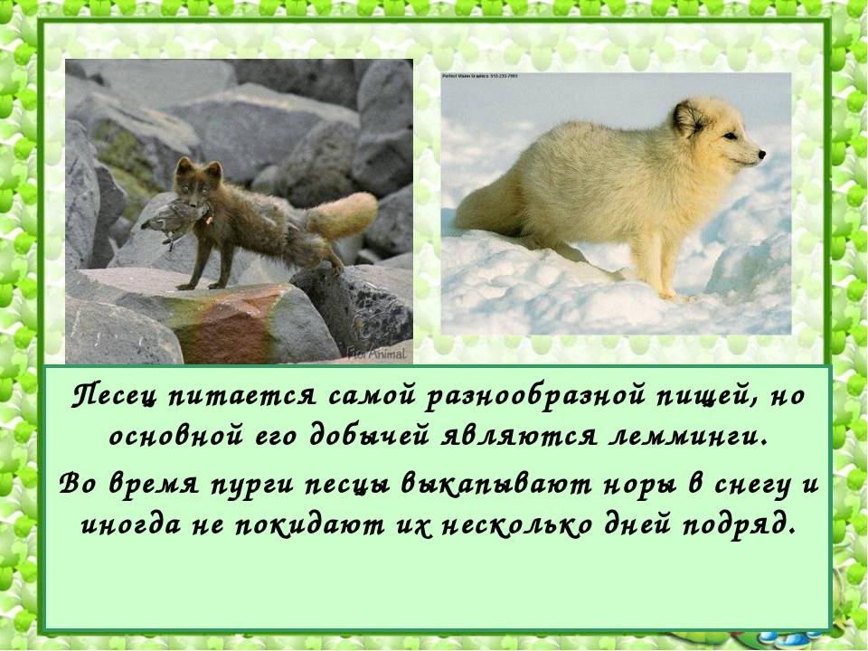 Песец питается самой разнообразной пищей, но основной его добычей являются ле...