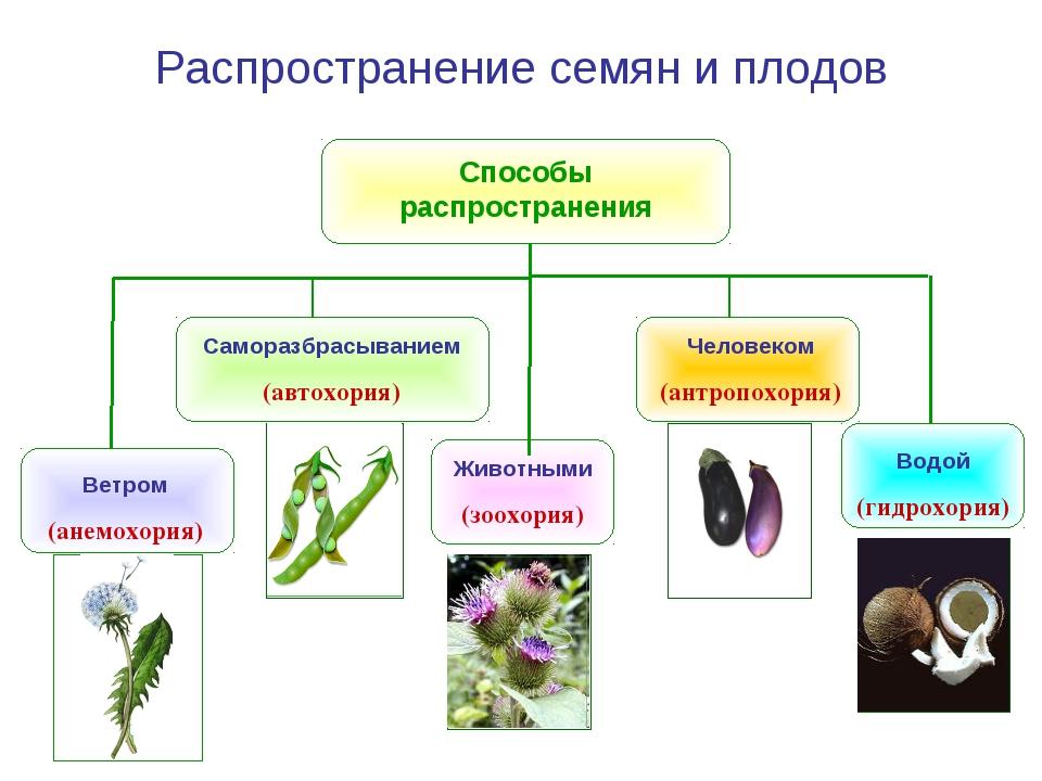 Животными (зоохория) Способы распространения Ветром (анемохория) Водой (гидро...