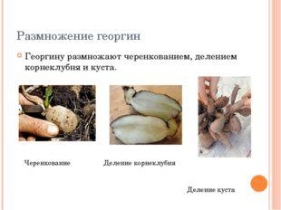 Размножение георгин Георгину размножают черенкованием, делением корнеклубня и