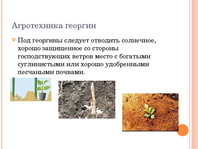 Агротехника георгин Под георгины следует отводить солнечное, хорошо защищенно...