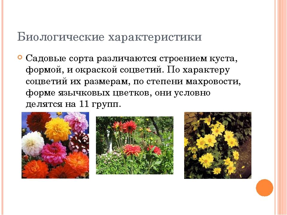 Биологические характеристики Садовые сорта различаются строением куста, формо...