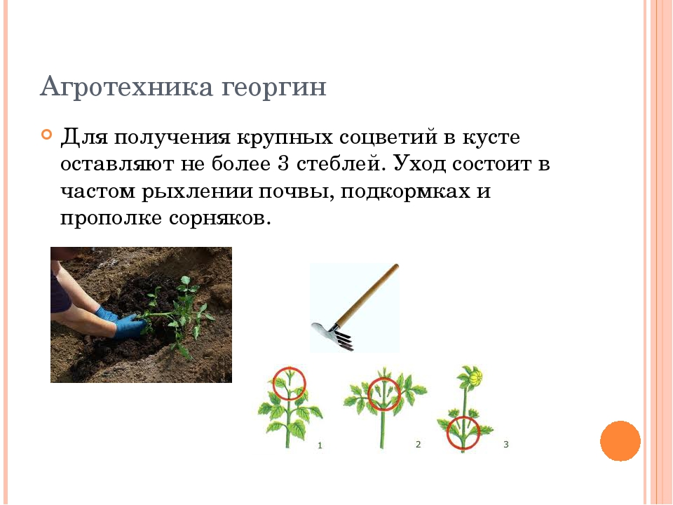 Агротехника георгин Для получения крупных соцветий в кусте оставляют не более...