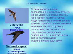 «АСЫ НЕБА» - стрижи Стрижи являются очень распространённым видом птиц, их мож