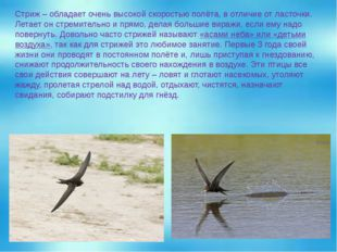 Стриж – обладает очень высокой скоростью полёта, в отличие от ласточки. Летае