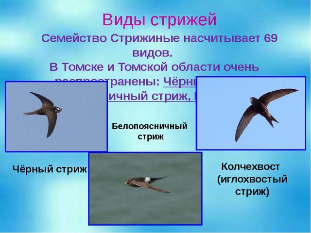 Виды стрижей Семейство Стрижиные насчитывает 69 видов. В Томске и Томской обл...