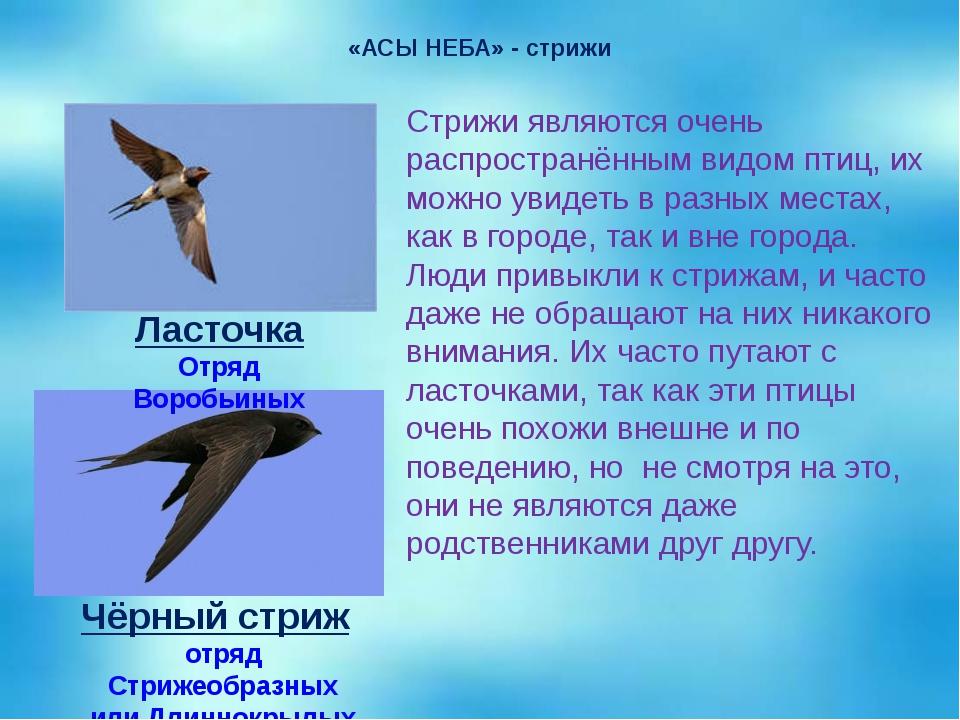 «АСЫ НЕБА» - стрижи Стрижи являются очень распространённым видом птиц, их мож...