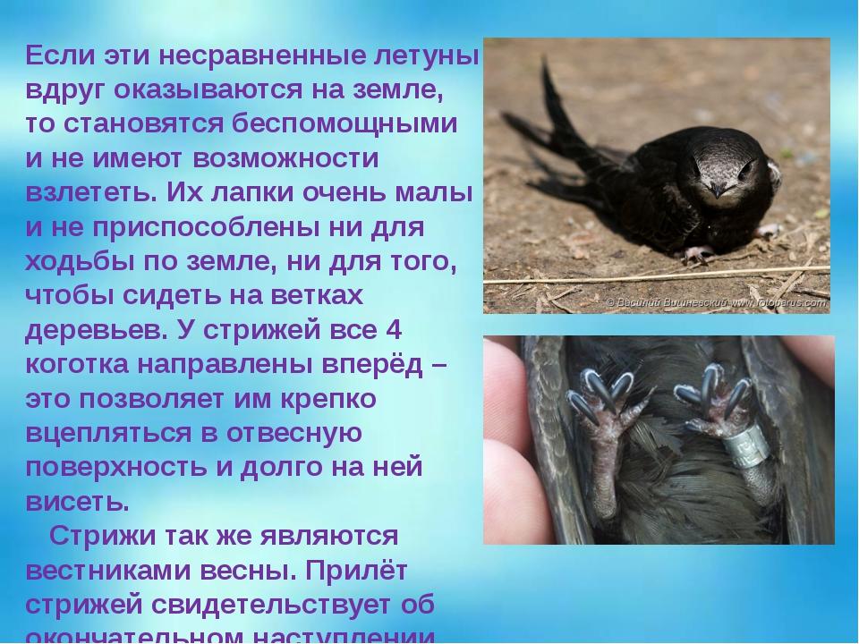 Если эти несравненные летуны вдруг оказываются на земле, то становятся беспом...