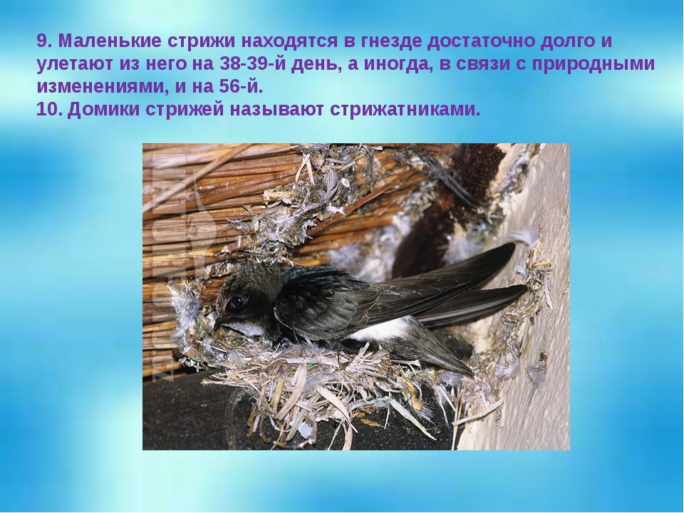 9. Маленькие стрижи находятся в гнезде достаточно долго и улетают из него на...