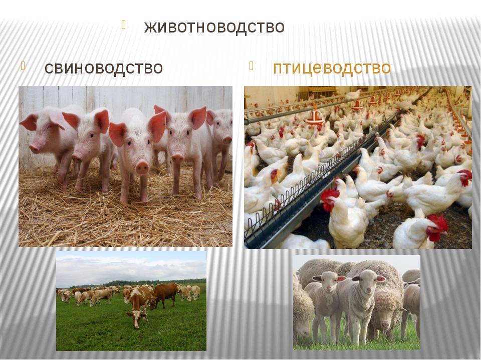 свиноводство птицеводство животноводство