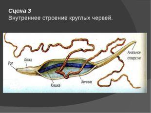 Сцена 3 Внутреннее строение круглых червей.