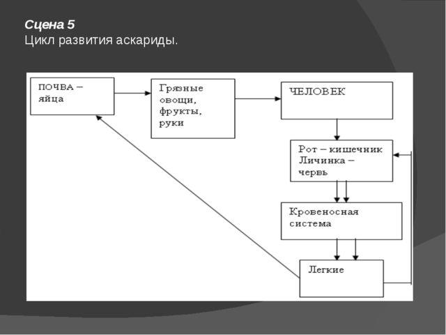 Сцена 5 Цикл развития аскариды.