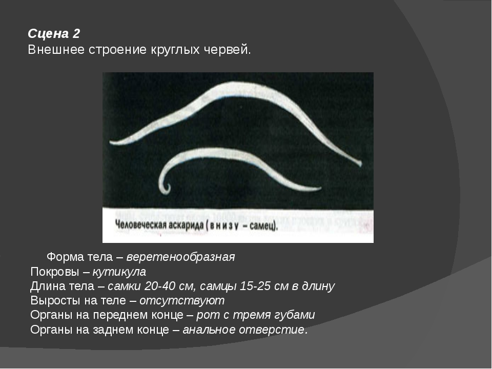 Сцена 2 Внешнее строение круглых червей. Форма тела –веретенообразная Покров...