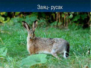 Заяц- русак