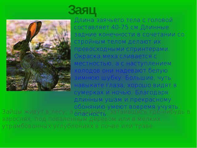 Заяц Длина заячьего тела с головой составляет 40-75 см.Длинные задние конечно...