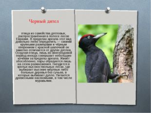 Черный дятел Желна́, или чёрный дятел — лесная птица из семейства дятловых, р