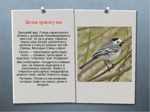 Белая трясогузка Внешний вид. Птица характерного облика с длинным покачивающи