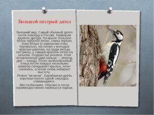 Большой пёстрый дятел Внешний вид. Самый обычный дятел почти повсюду в России