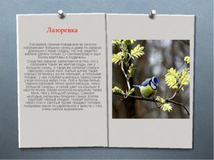 Лазоревка Лазоревки своими повадками во многом напоминают больших синиц и даж