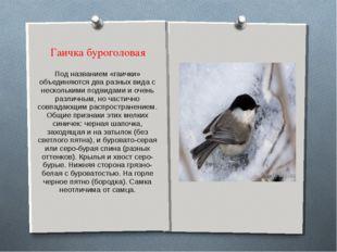 Гаичка буроголовая Под названием «гаички» объединяются два разных вида с неск