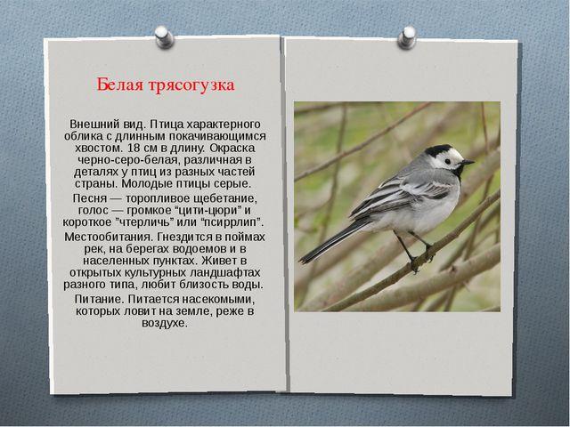 Белая трясогузка Внешний вид. Птица характерного облика с длинным покачивающи...