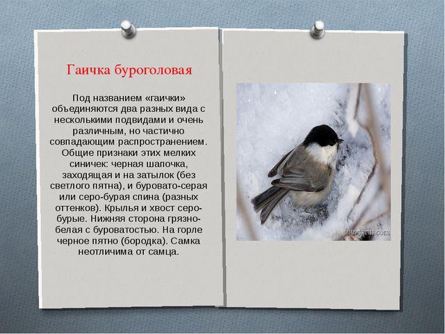 Гаичка буроголовая Под названием «гаички» объединяются два разных вида с неск...