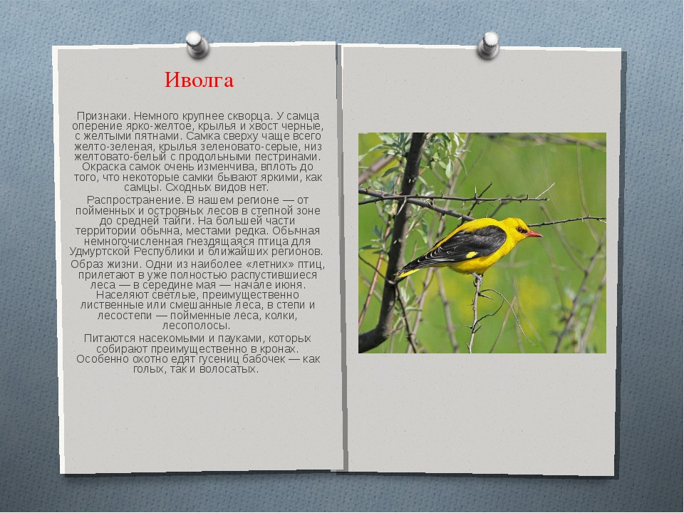 Иволга Признаки. Немного крупнее скворца. У самца оперение ярко-желтое, крыль...