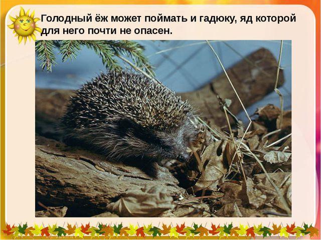Голодный ёж может поймать и гадюку, яд которой для него почти не опасен.