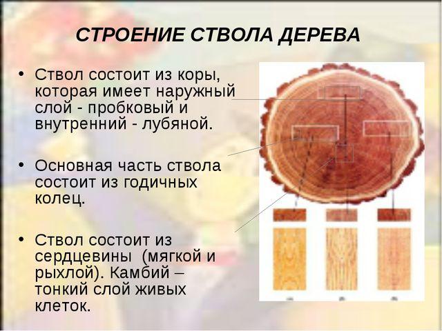 СТРОЕНИЕ СТВОЛА ДЕРЕВА Ствол состоит из коры, которая имеет наружный слой - п...