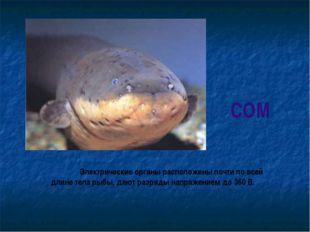 СОМ Электрические органы расположены почти по всей длине тела рыбы, дают раз
