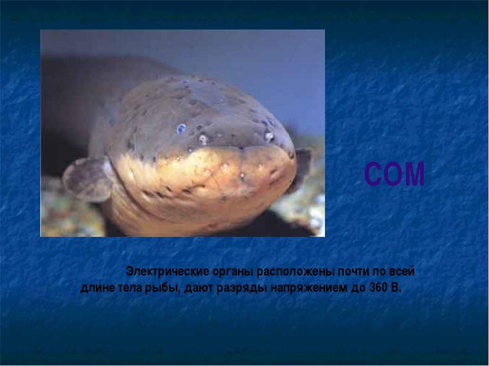 СОМ Электрические органы расположены почти по всей длине тела рыбы, дают раз...