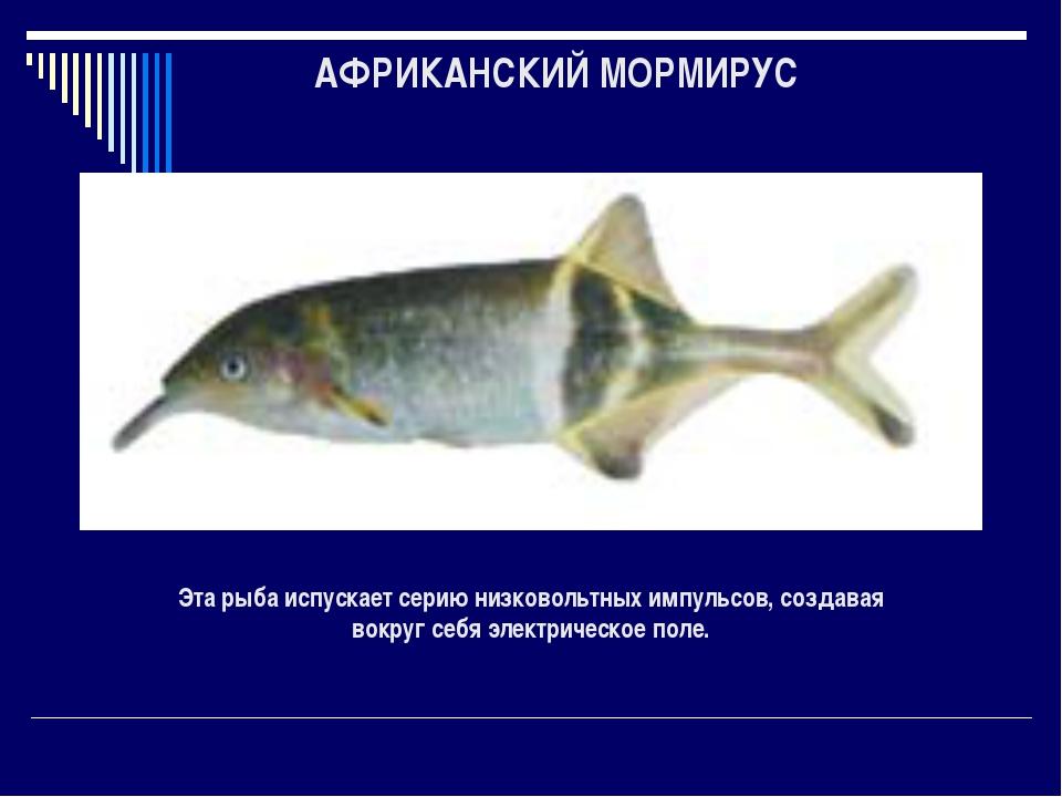 АФРИКАНСКИЙ МОРМИРУС Эта рыба испускает серию низковольтных импульсов, создав...