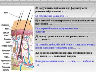 А) наружный слой кожи, где формируются роговые образования - …. . Б) собствен
