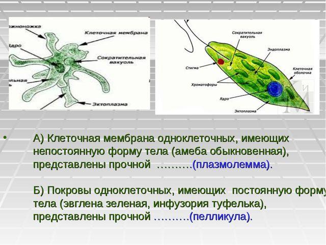 А) Клеточная мембрана одноклеточных, имеющих непостоянную форму тела (амеба о...