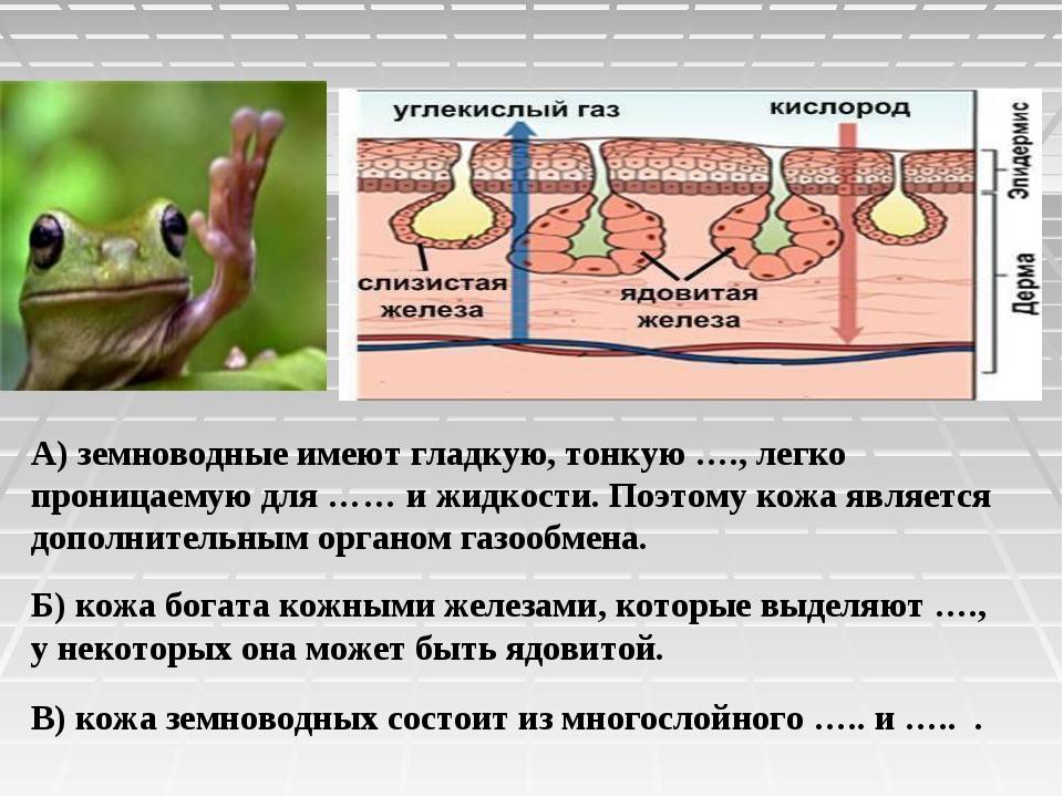А) земноводные имеют гладкую, тонкую …., легко проницаемую для …… и жидкости....