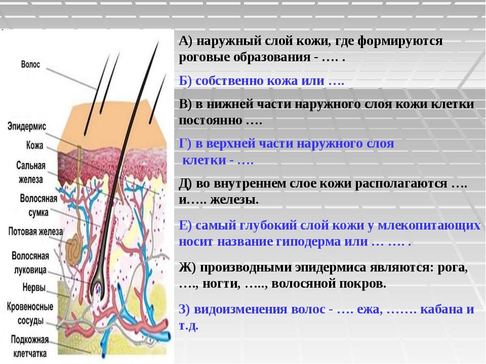 А) наружный слой кожи, где формируются роговые образования - …. . Б) собствен...