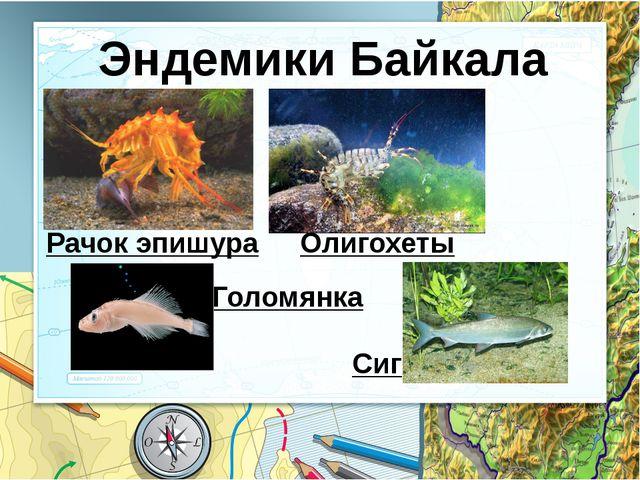 Эндемики Байкала Рачок эпишура Олигохеты Голомянка Сиг