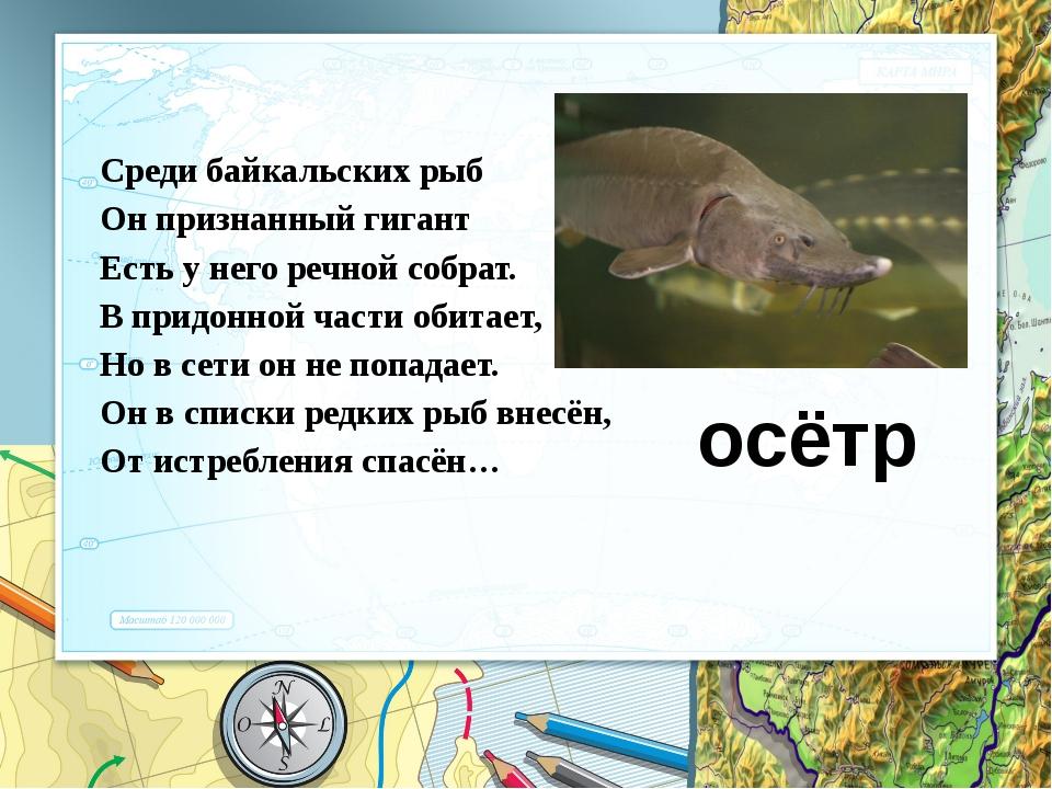 Среди байкальских рыб Он признанный гигант Есть у него речной собрат. В придо...