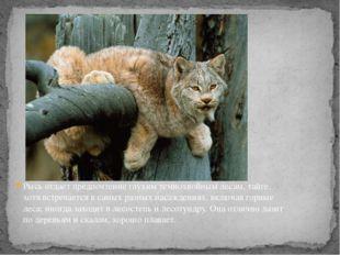 Рысь отдает предпочтение глухим темнохвойным лесам,тайге, хотя встречается в