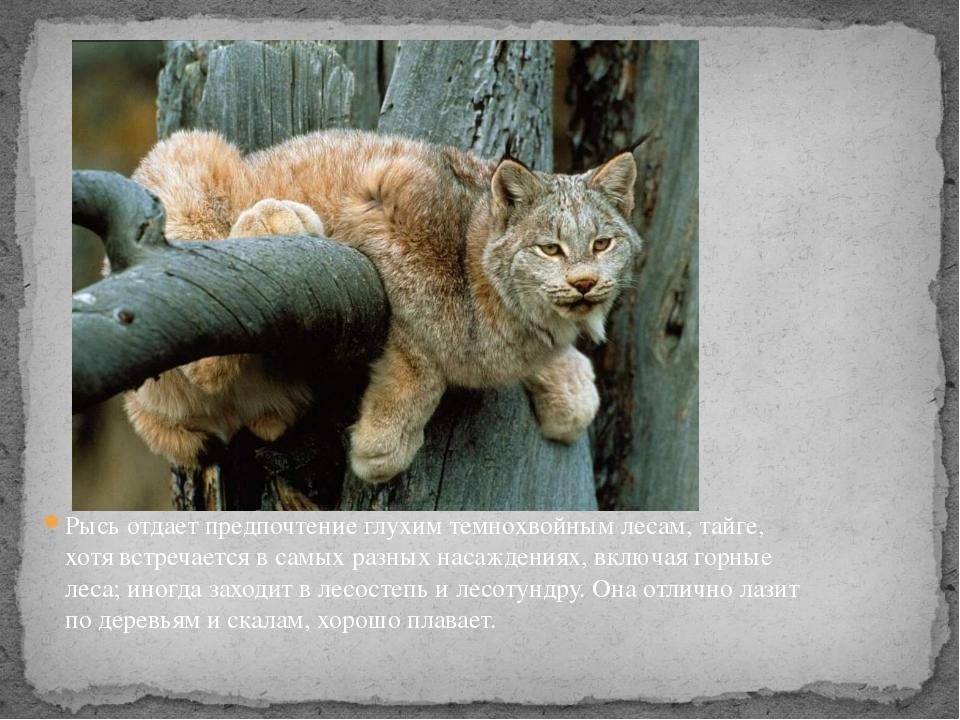 Рысь отдает предпочтение глухим темнохвойным лесам,тайге, хотя встречается в...