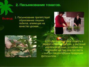. 2. Пасынкование томатов. Вывод: . 2. Чтобы плоды успели созреть в первой по