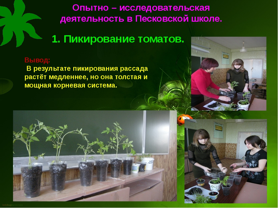 1. Пикирование томатов. Вывод: В результате пикирования рассада растёт медлен...